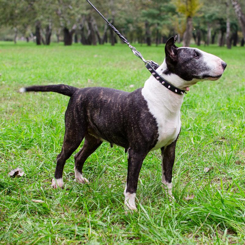 Ligero collar de Bull Terrier «Fila de púas»